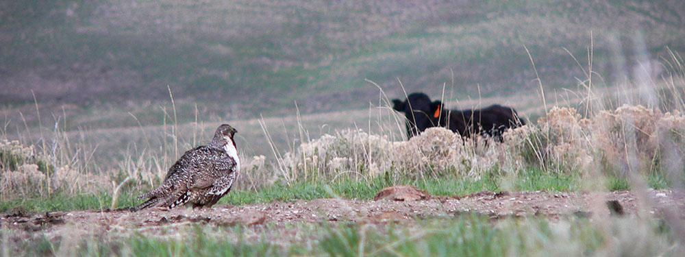 Sage grouse in foreground, a black Angus cow in the background