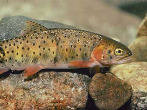 Bonneville cutthroat flourish in the Right Hand Fork of the Logan River