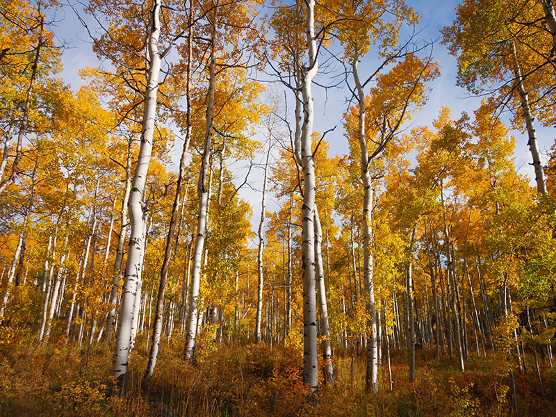 What's killing the world's most massive living thing? New study of Utah's Pando aspen grove blames cows, not deer.