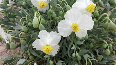 bearclaw poppy
