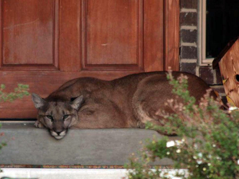 Are Large Predators Becoming More Prevalent In Utah's Residential Areas?